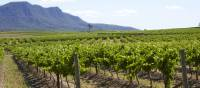 Cycle past the scenic vineyards near Pokolbin in the Hunter Valley | Destination NSW