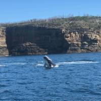 Baby humpback whale breaching off Jervis Bay | Kate Baker