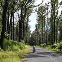 Cyclist pedaling past the forest regrown after the Myrtle Mountain fires   Ross Baker