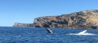 Humpback whales breaching off Jervis Bay | Kate Baker