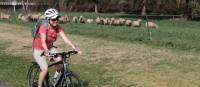 cycling past sheep on the CWCR   Ross Baker