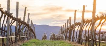 Sheep grazing in the vineyards near Mudgee | Mudgee Region Tourism